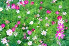 Fiore di rosa del fiore della margherita bello colorful fotografia stock libera da diritti