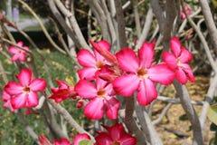Fiore di rosa del deserto Immagini Stock Libere da Diritti
