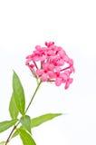 Fiore di rosa del Panama Fotografia Stock