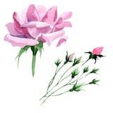 Fiore di rosa del tè rosa del Wildflower in uno stile dell'acquerello isolato Immagini Stock Libere da Diritti