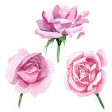 Fiore di rosa del tè rosa del Wildflower in uno stile dell'acquerello isolato Fotografie Stock Libere da Diritti