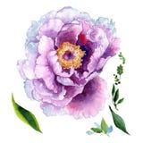 Fiore di rosa della peonia del Wildflower in uno stile dell'acquerello isolato Immagini Stock Libere da Diritti