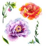 Fiore di rosa della peonia del Wildflower in uno stile dell'acquerello isolato Immagine Stock