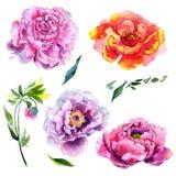 Fiore di rosa della peonia del Wildflower in uno stile dell'acquerello isolato Immagini Stock