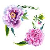 Fiore di rosa della peonia del Wildflower in uno stile dell'acquerello isolato Immagine Stock Libera da Diritti