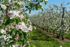 Fiore di rosa della primavera di di melo in frutteto, regione Haspengouw della frutta nel Belgio immagini stock