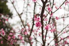 Fiore di rosa della Tailandia Sakura in ChiangMai Fotografie Stock