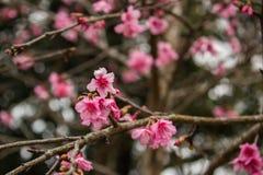 Fiore di rosa della Tailandia Sakura in ChiangMai Fotografie Stock Libere da Diritti