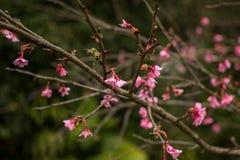 Fiore di rosa della Tailandia Sakura in ChiangMai Fotografia Stock Libera da Diritti