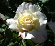 Fiore di rosa di bianco Immagine Stock Libera da Diritti