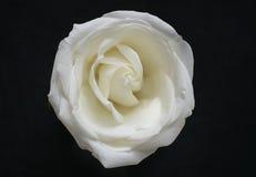 Fiore di rosa di bianco croccante sul nero Fotografia Stock Libera da Diritti