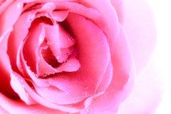 Fiore di rosa di colore rosa Immagine Stock Libera da Diritti