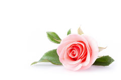Fiore di rosa di colore rosa Fotografia Stock Libera da Diritti