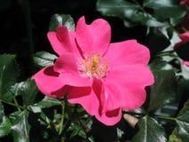 Fiore di rosa di colore rosa Fotografia Stock