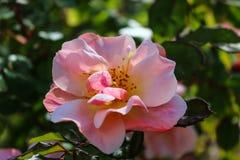 Fiore di rosa di colore rosa Fotografie Stock