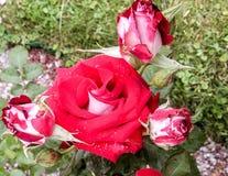Fiore di rosa di colore rosso Immagini Stock