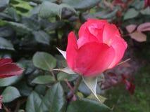 Fiore di rosa di colore rosso Fotografie Stock Libere da Diritti