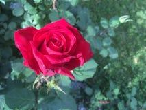 Fiore di rosa di colore rosso Immagini Stock Libere da Diritti