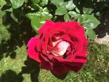 Fiore di rosa di colore rosso Fotografia Stock Libera da Diritti