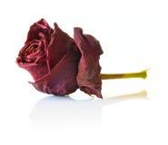 Fiore di rosa di colore rosso asciutto Immagini Stock