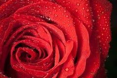 Fiore di rosa di colore rosso con le goccioline di acqua Fotografie Stock