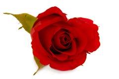 Fiore di rosa di colore rosso isolato su priorità bassa bianca Fotografie Stock