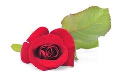 Fiore di rosa di colore rosso su priorità bassa bianca immagine stock