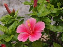 Fiore di rosa di signora Immagine Stock