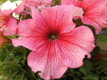 Fiore di rosa di Surfina della petunia nell'attaccatura dell'alto vicino del canestro immagini stock libere da diritti