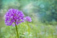 Fiore di rosa/lilla allium della cipolla su sfondo naturale vago i Immagini Stock