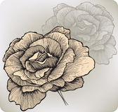 Fiore di Rosa, a mano disegno. Illustrazione di vettore. Immagini Stock