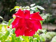 Fiore di Rosa nel giardino fotografie stock libere da diritti