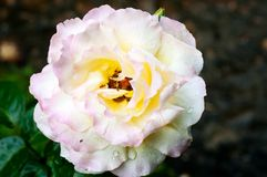 Fiore di Rosa in pioggia Fotografie Stock Libere da Diritti