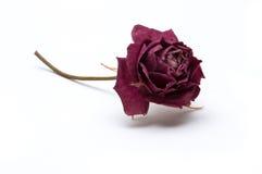 Fiore di rosa secco Immagini Stock