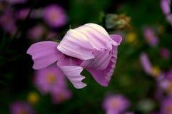 Fiore di rosa selvaggio Fotografia Stock