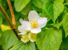 Fiore di rosa selvaggio immagine stock