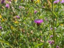 Fiore di rosa selvaggio fotografie stock libere da diritti