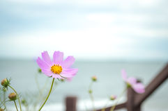 Fiore di rosa selvaggio Immagine Stock Libera da Diritti
