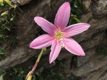 Fiore di rosa selvaggio Immagini Stock Libere da Diritti