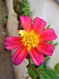 Fiore di rosa di sensazione dell'universo Fotografia Stock