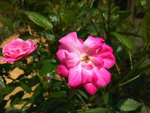 Fiore di Rosa sul ramo di albero immagine stock