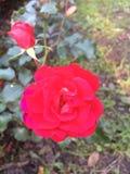 Fiore di Rosa a Varsavia Immagini Stock