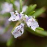 Fiore di rosmarino Immagini Stock