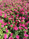 fiore di rossi carmini al sole a Bangkok Fotografie Stock