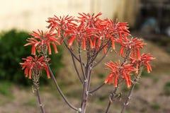 Fiore di rosso dell'aloe Fotografia Stock