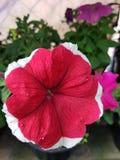 fiore di rosso della petunia con il bordo bianco immagine stock