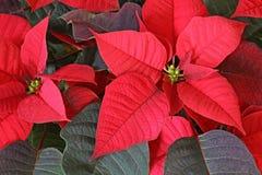 Fiore di rosso della stella di Natale Fotografie Stock Libere da Diritti