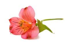 Fiore di rosso di Alstroemeria Immagine Stock