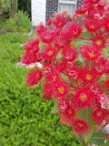 Fiore di rosso di Gumtree Fotografia Stock Libera da Diritti