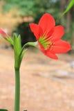 Fiore di rosso di hippeastrum. immagini stock libere da diritti